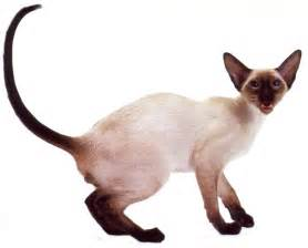 siamese cat colors siamese cats home your cat will be happy