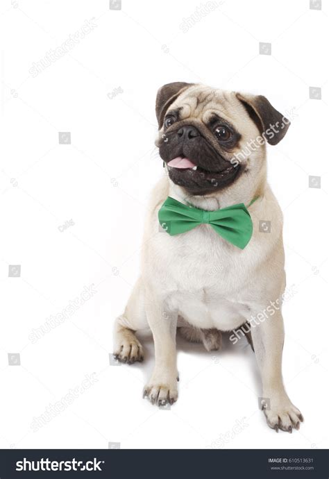 how to a pug to sit pug sitting stock photo 610513631