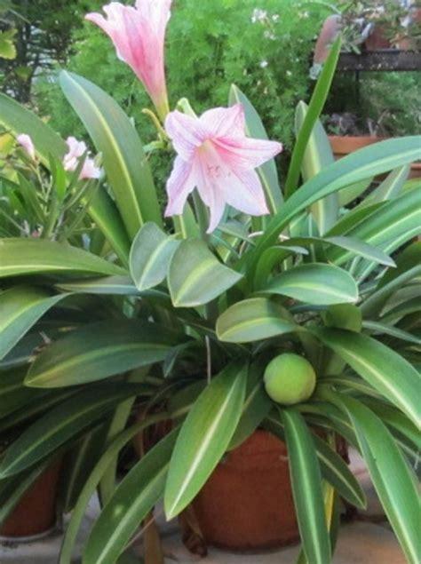 jual beli bibit tanaman hias amaryllis variegata