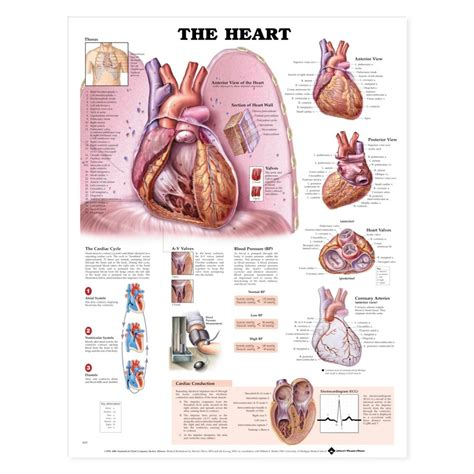 the heart is a heart anatomical anatomy poster cardiac anatomical chart company