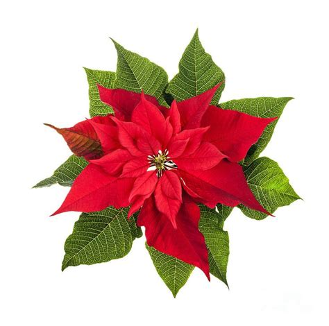 poinsettia tattoo 25 best ideas about december birth flowers on