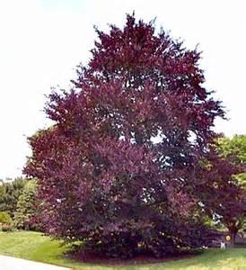 ornamental trees purple beech fagus sylvatica purpurea large deciduous tree spreading