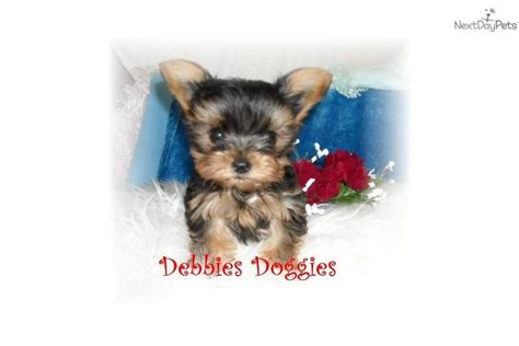 yorkie puppy care terrier pictures information care requirements and other breeds picture