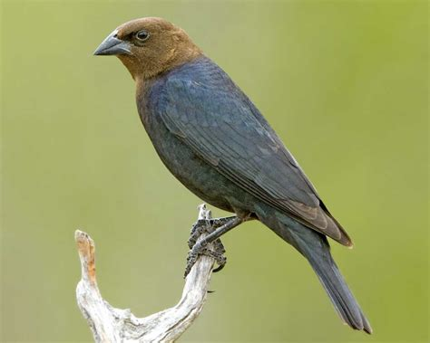 brown headed cowbird audubon field guide