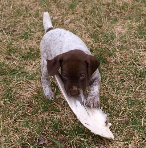gsp puppy gsp german shorthaired pointer gsp puppies breeds picture