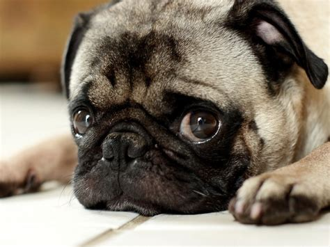 pug eye discharge revealing the real reason dogs sigh