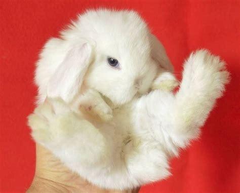 alimentazione coniglio alimentazione coniglio nano conigli nani consigli per