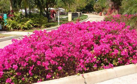 mediterranean flowering shrubs mediterranean garden plants