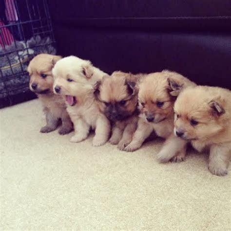 pomeranian boo for sale boo puppies for sale puppies for sale dogs for sale breeders kennel