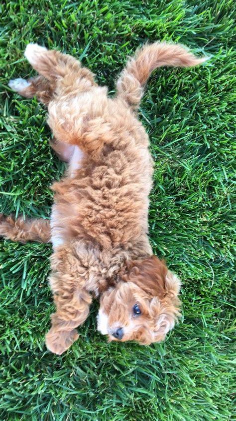 mini doodle cavapoo best 25 cavapoo dogs ideas on