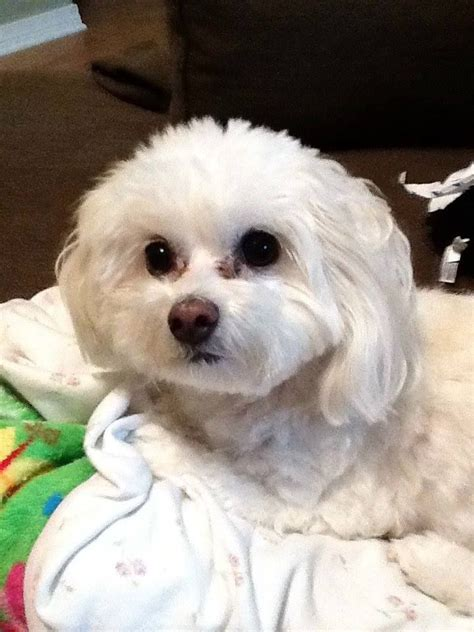 maltese puppy names missing small white maltese poodle mix from strawberry plains tn area name