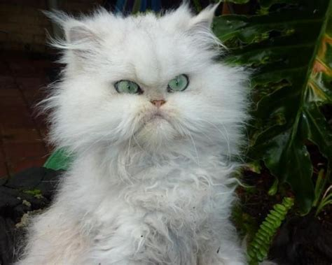 amazing funny animals creatures white angry cat