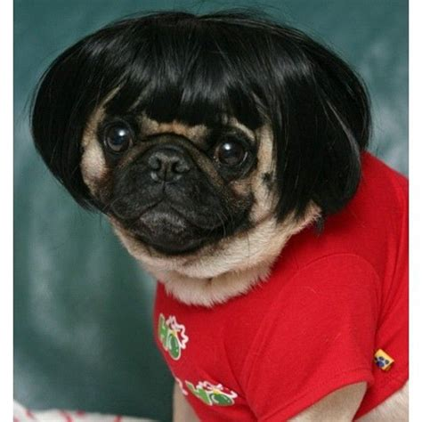 chihuahua with bangs hairstyles photo by stephhjune instagram dogs in wigs pinterest