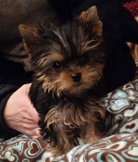 yorkies not for best 25 yorkie puppies ideas on