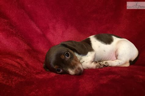 dachshund puppies for sale in greensboro nc dachshund mini puppy for sale near greensboro carolina 9b62e1d2 0af1