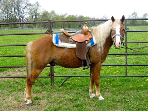 welsh cob section d temperament pretty haflinger welsh pony sale pending