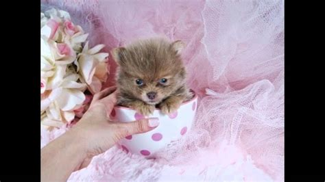 teacup pomeranian boo for sale teacup pomeranian boo the puppies for sale 2016 we ship