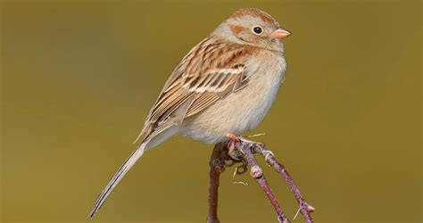 field sparrow similar species comparison all about birds