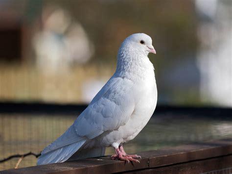 manuscript review history white dove