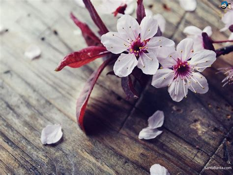 lovely like blossom cute gt image for cherry blossom is beautiful japanese flowers