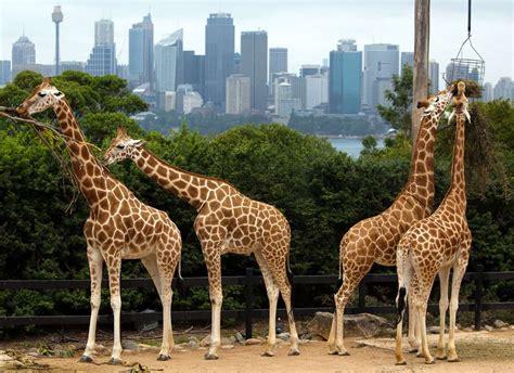 google images giraffe google street view bikes hit australia hardware