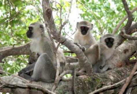 nicko the tale of a vervet monkey on an farm books in solving social dilemmas vervet monkeys get by with a