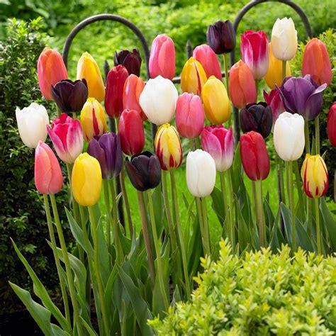 zyverden wind flowers bulbs anemones st brigid mixed