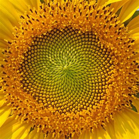 sunflower fibonacci sequence golden section how the golden ratio manifests in nature mnn mother