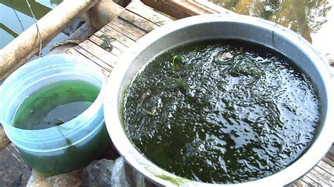 ramuan membuat umpan ikan mas membuat umpan dengan lumut mancing yuk