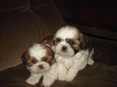 beautiful shih tzu beautiful shih tzu puppies offer