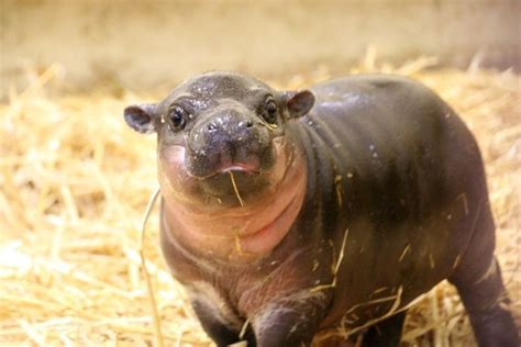 baby pygmy hippo baby pygmy hippo makes debut at sydney s taronga zoo