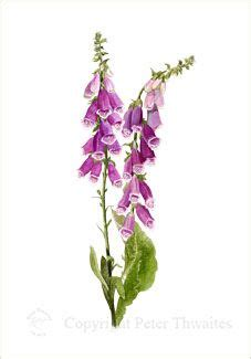 watercolor tattoo hannover 109 best images about n 225 prstn 237 ky foxglove on