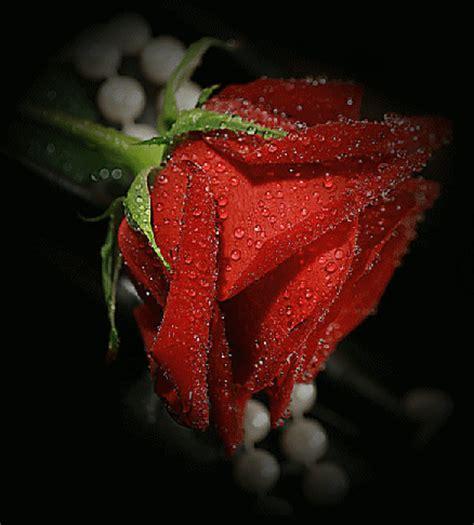 imagenes con movimiento de rosas rojas imagenes con movimiento de rosas rojas con gotas de rocio