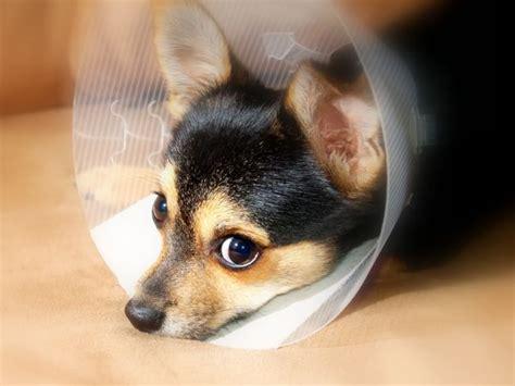 puppy cone when should i spay or neuter my in broken arrow broken arrow veterinarian