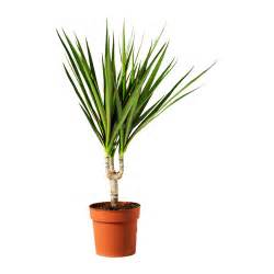 dracaena marginata care images