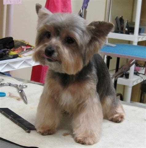 pictures of yorkie teddy bear cuts owners request make my yorkie boy cute yelp