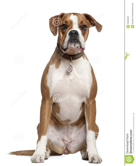 the longhaired boxer books american staffordshire terrier in front of a white