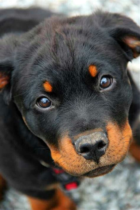 soul rottweiler rescue best 25 baby rottweiler ideas only on rottweilers rottweiler puppies and
