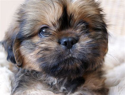how much are teacup dogs teacup puppies dogtime