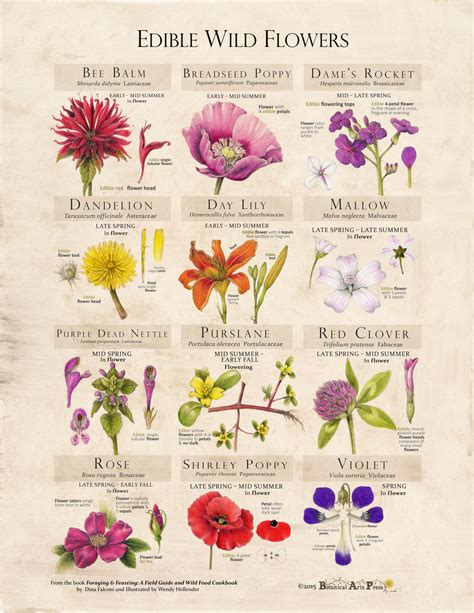 printable list of edible flowers edible wild flowers print foraging and feasting