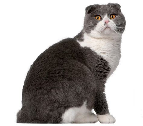 The gallery for   > Grey And White Scottish Fold Cat