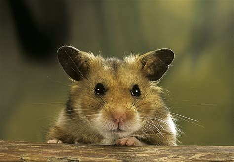 hamster with problems with hamster s teeth pets