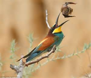 european bee eater bird tries to eat a whole bat daily