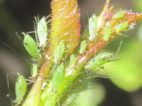Läuse Auf Pflanzen 3917 by L 228 Use Auf Pflanzen Bild 33 Aus Beitrag Vielfalt Der