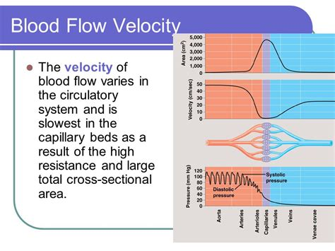 total cross sectional area internal fluids and respiration ppt video online download