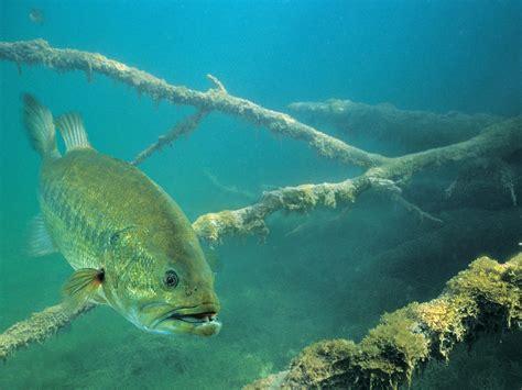 Fisch Bass by Fish R Bass Fishing Wallpaper