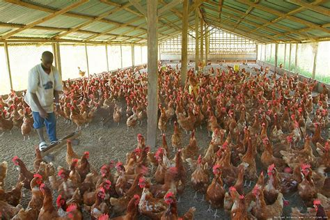 2015 nigeria poultry business plan for layers and broilers how to start lucrative poultry farming in nigeria best guide