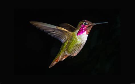 fond d 233 cran colibri en vol sur un fond noir my hd
