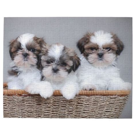 i want to buy a shih tzu puppy find a shih tzu puppy assistedlivingcares