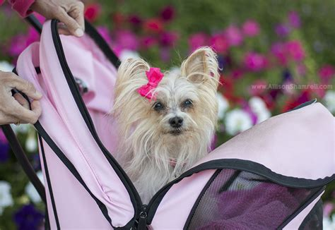 yorkie stroller the yorkie from la mesa allison shamrell pet photography san diego pet